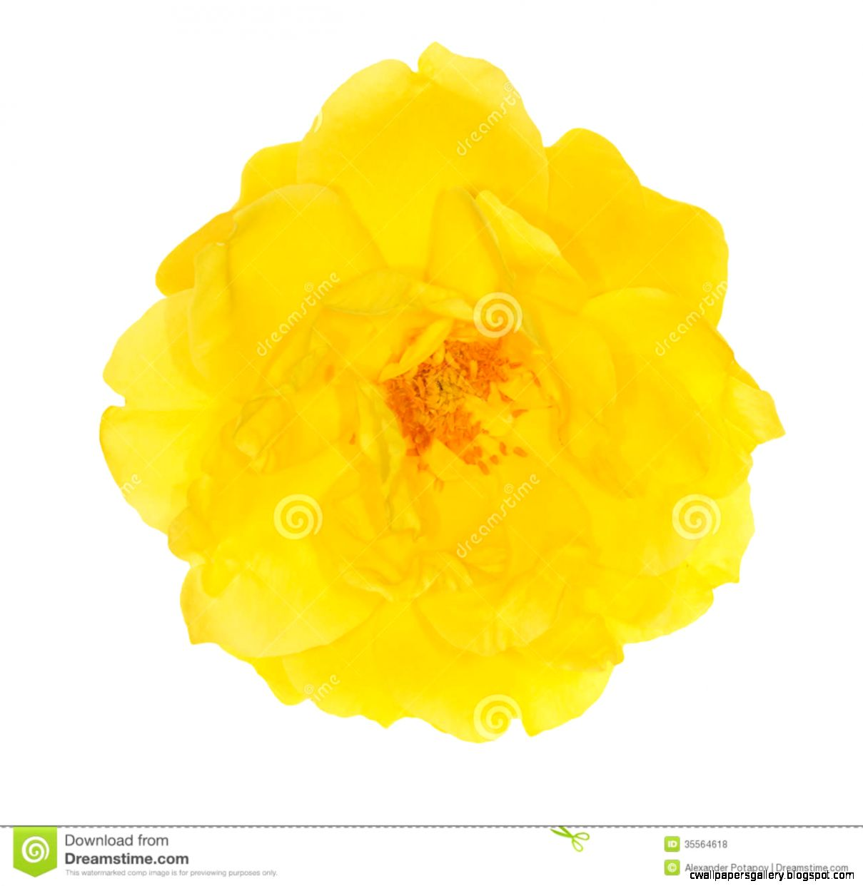 Single Bright Yellow Rose Flower On White Royalty Free Stock