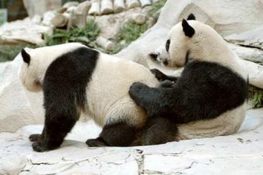 Panda bear funny - photo#5