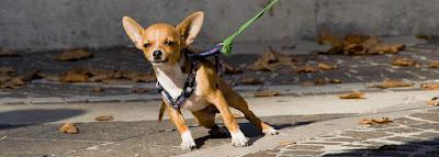 kuinka lopettaa koiran vetäminen hihnassa