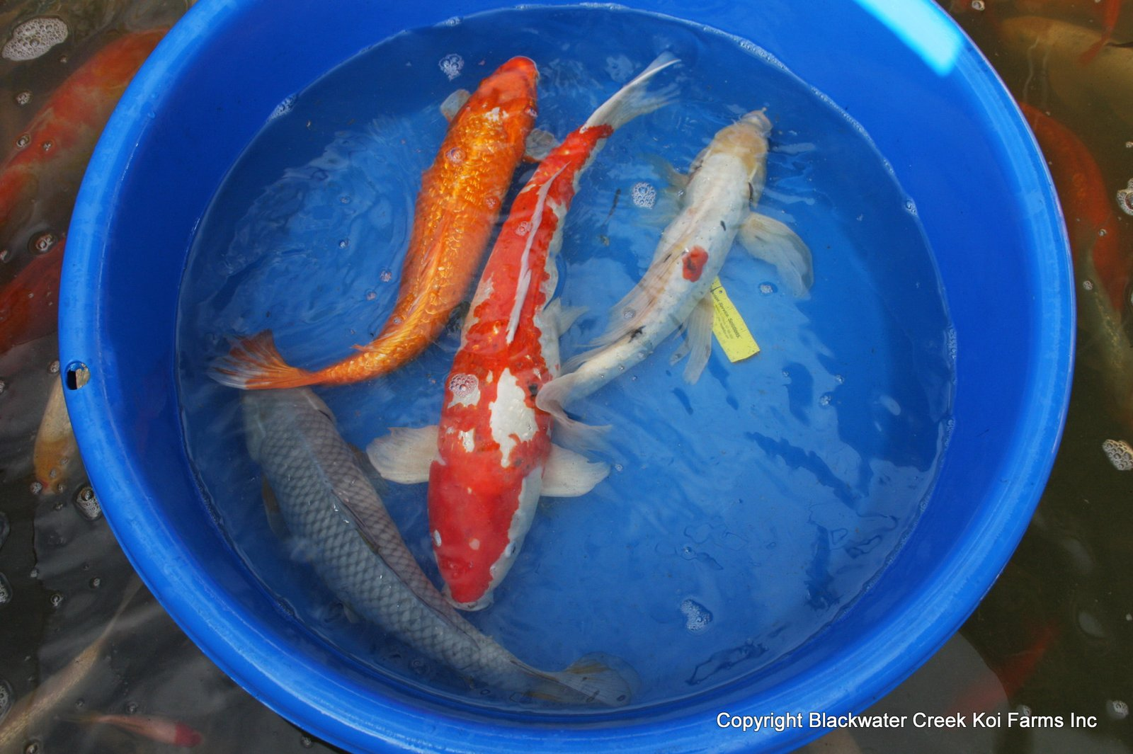 The blackwater blog big koi for sale for Bulk koi fish for sale