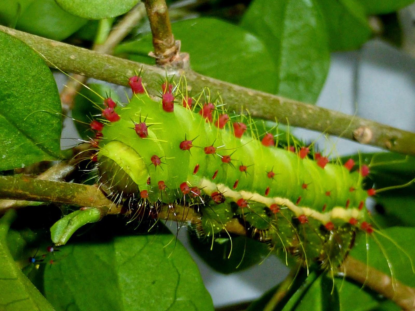 Syntherata escarlata caterpillar L5