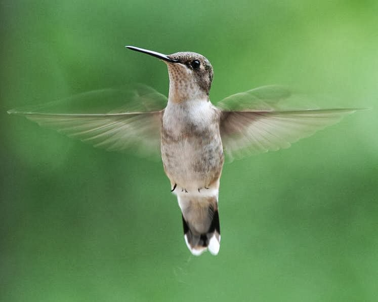 http://3.bp.blogspot.com/-S_xZY8jU8NI/Ux95j3GLEII/AAAAAAAALv0/gy0WONfw7q4/s1600/hummingbird+rubythroated+female+wikimedia+commons.jpg
