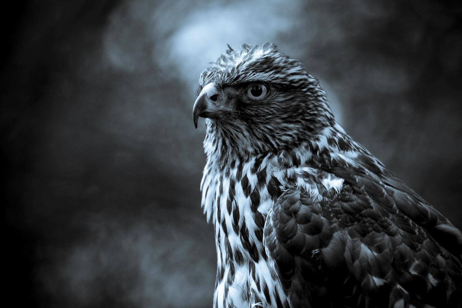 Beautiful Wallpaper Night Animal - resting-in-the-night-sky-eagle-animal-wallpaper  HD.jpg