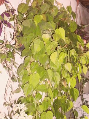 plantas que cultivo em casa.