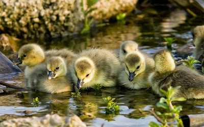 goslings-sunshine-lake-bird-wallpaper