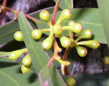 Eucalyptus gracilis