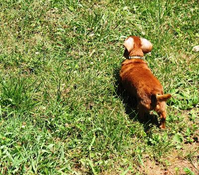 dachshund ear flaps
