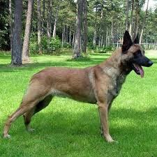foto de un perro Pastor Belga Malinois