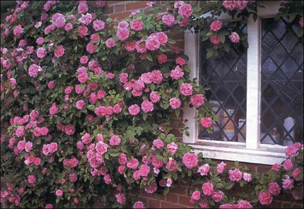 lavender garden cottage flower of the day zephirine. Black Bedroom Furniture Sets. Home Design Ideas