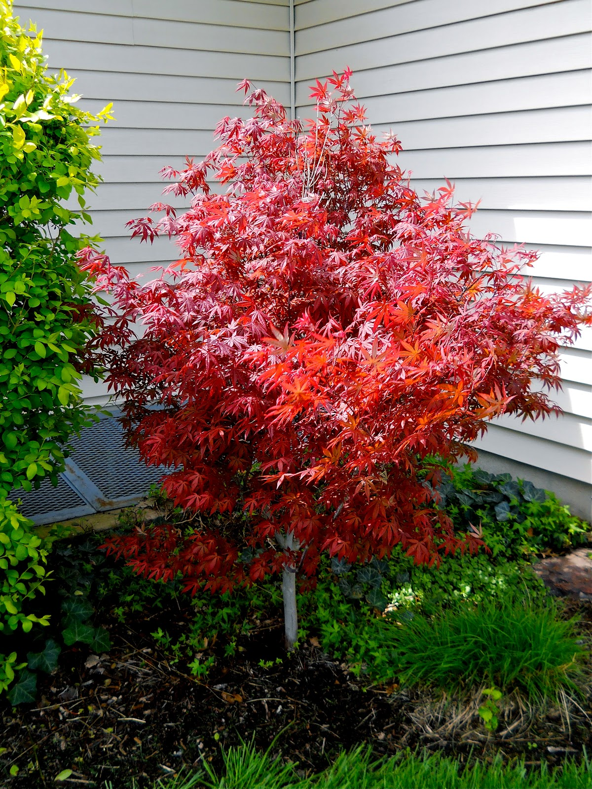 Famous Dwarf Japanese Maple Tree
