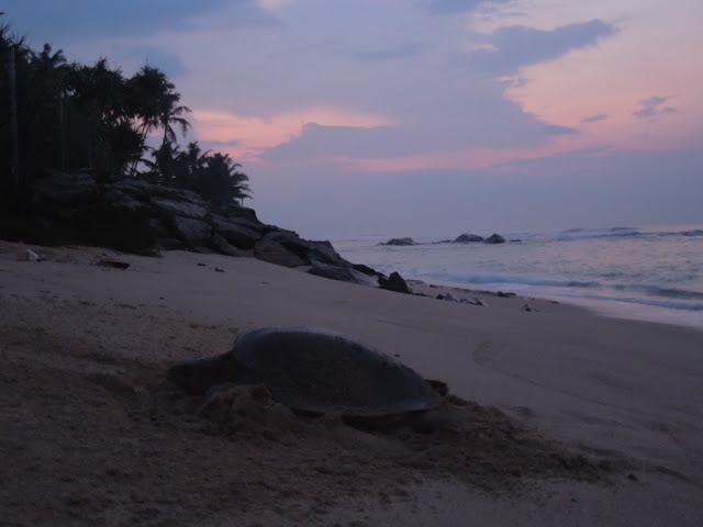 черепаха откладывет яйца на рассвете - пляж Матара, юг Шри-Ланка