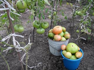 собрано 1,5 ведра индетерминантных помидоров