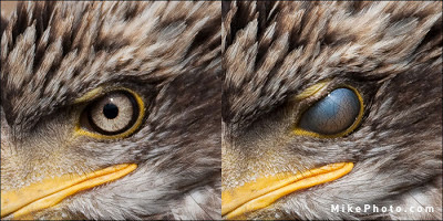 bald-eagle-nictitating-membrane-closeup.