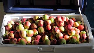 freshly harvested apples fill an 80 quart cooler!