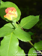 Blooming Roses. I'm so happy looking at my roses blooming, . (roses final)