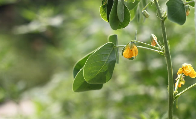 Cassia Tora Flowers