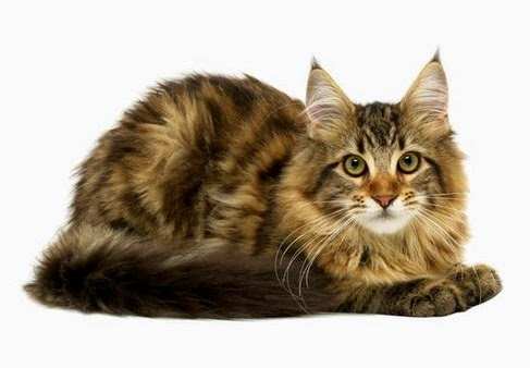 Manage Kidney Disease in Cats