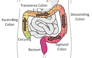 Path of feces through the colon
