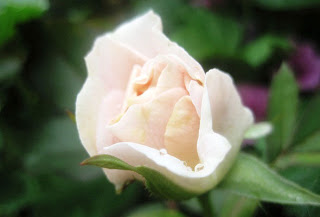 white rose bud with pale pink edges