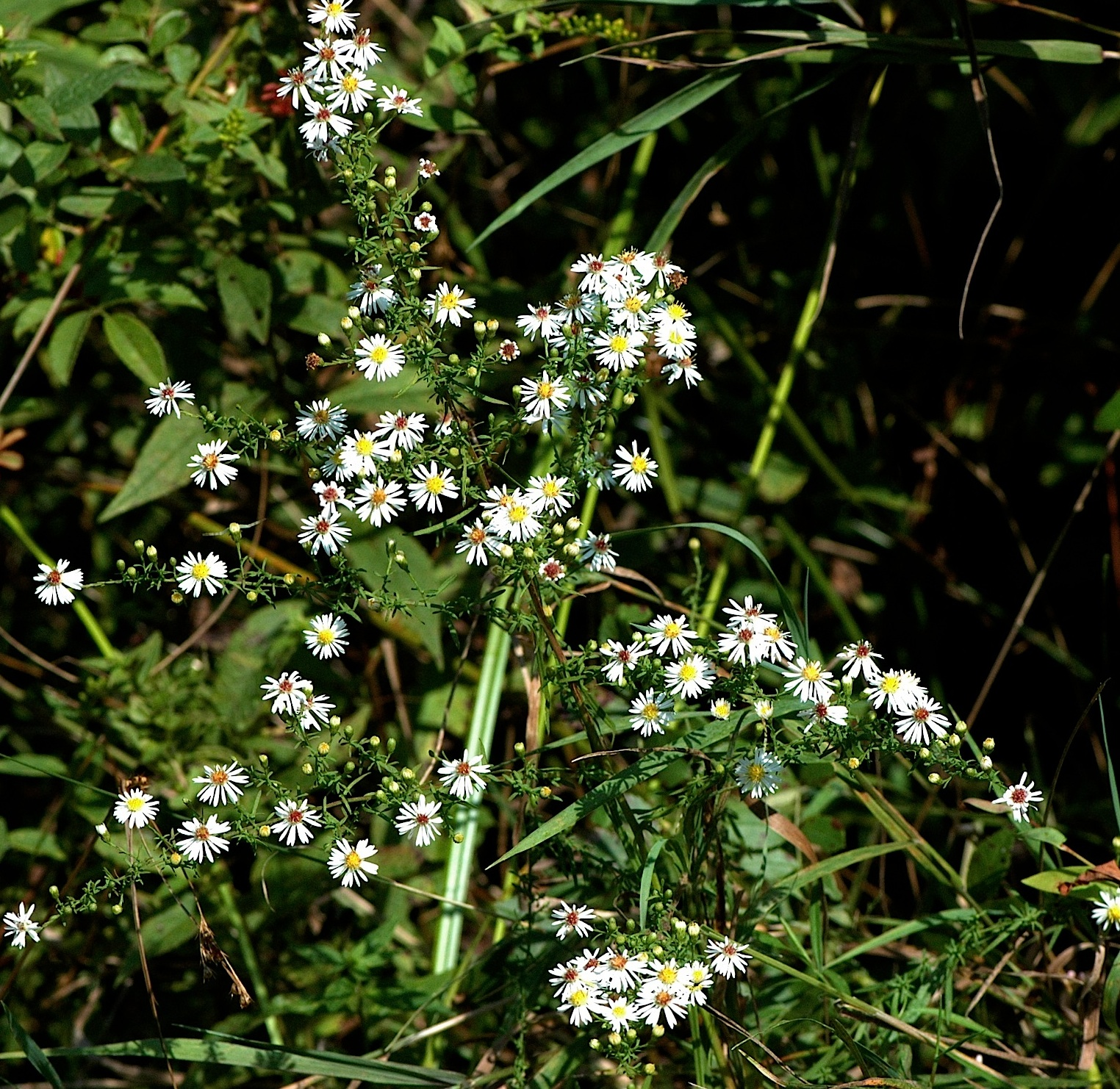 Field biology in southeastern ohio november 2011 heres another group i cant separate this is the racemosumericoides group common names include the heath aster small white smooth white and old field mightylinksfo