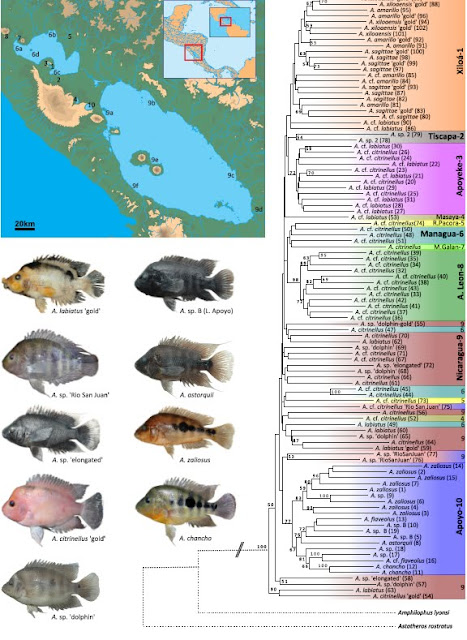 Midas cichlid phylogenetics