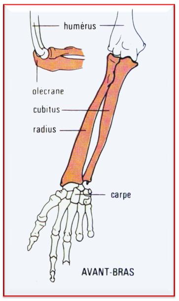 os de l'avant bras