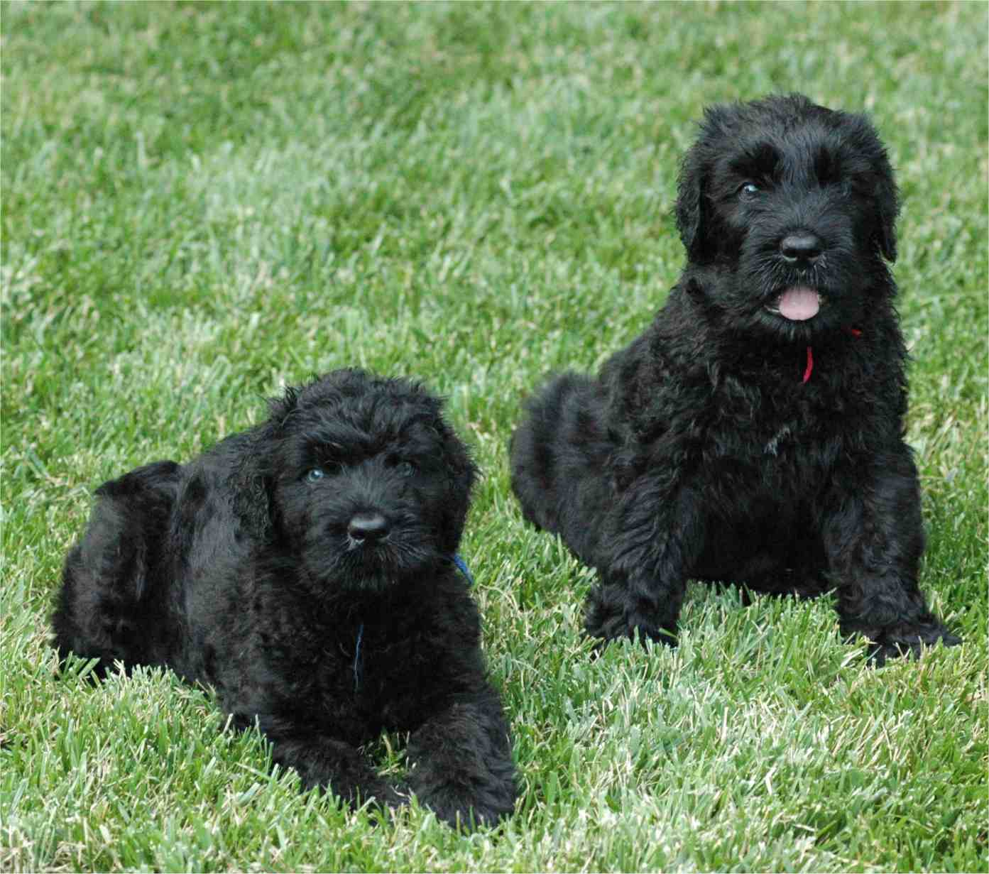 About Dog Black Russian Terrier