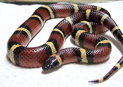 colorful_Mexican_milk_snake