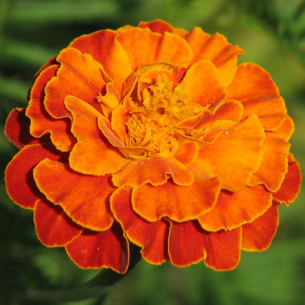 marigoldflowercipadwallpaper ,×, pixels, Natural flower