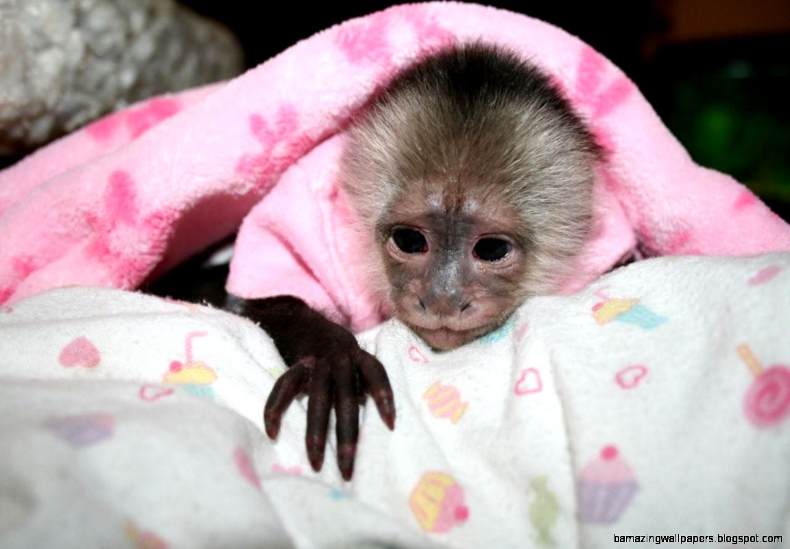 Baby Pet Monkeys | Amazing Wallpapers - 92.0KB