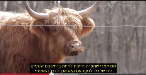 נדיר ביותר: פרה אדומה  (Red Cow)