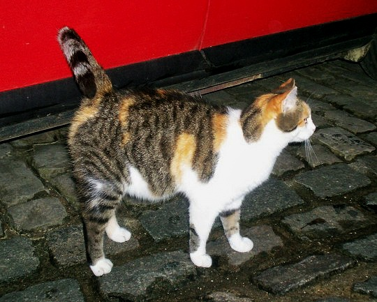Cat from Clervaux, Luxembourg