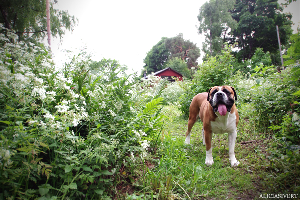 aliciasivert, alicia sivert, alicia sivertsson, midsommar, midsummer, dog, hund, mastiff, boerboel, cash