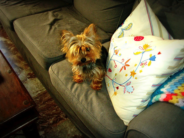 toy yorkshire terrier yorkie puppy dog
