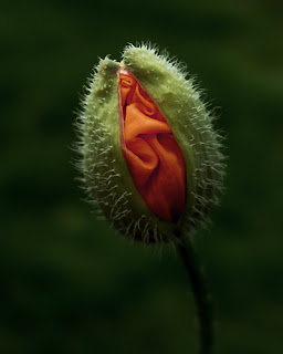 unfurling poppy