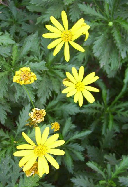 Flores de Margaritas amarillas