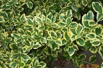 Plantas e jardins plantas flores e jardinagem arbustos for Arbustos ornamentales de exterior