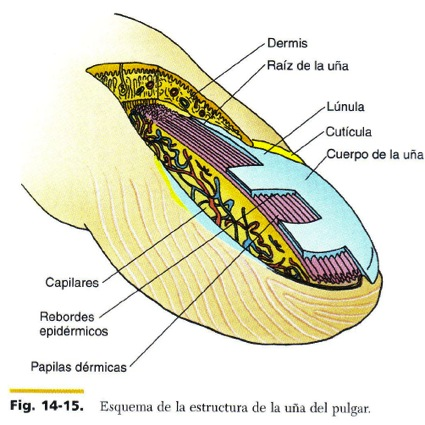 FCM-UNAH Anatomía Microscópica: Esquema de la Uña