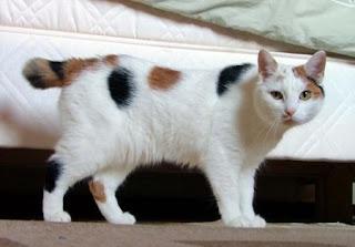 โรคติดต่อที่สำคัญในแมว