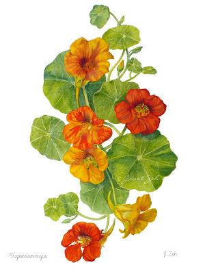Naturtium flowers fine art print