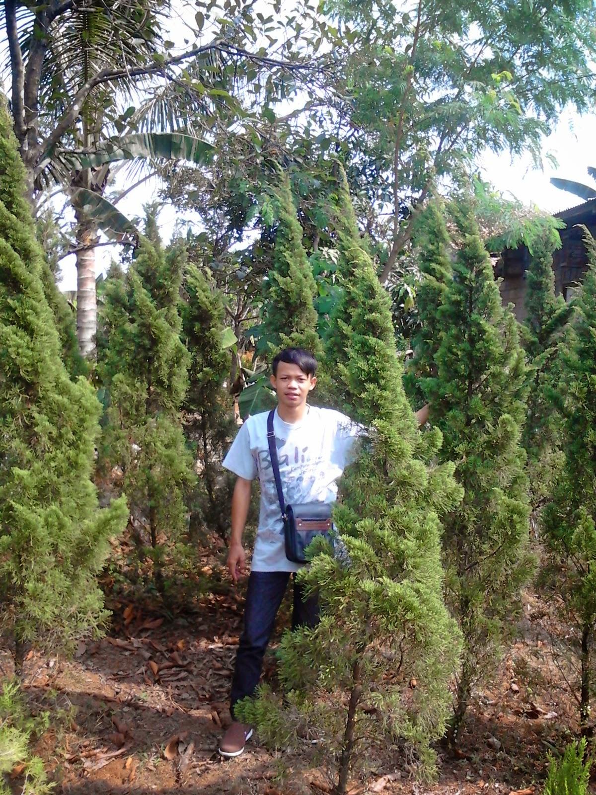 Jual cemara pua-pua | suplier tanaman | tanaman hias | jasa desain taman