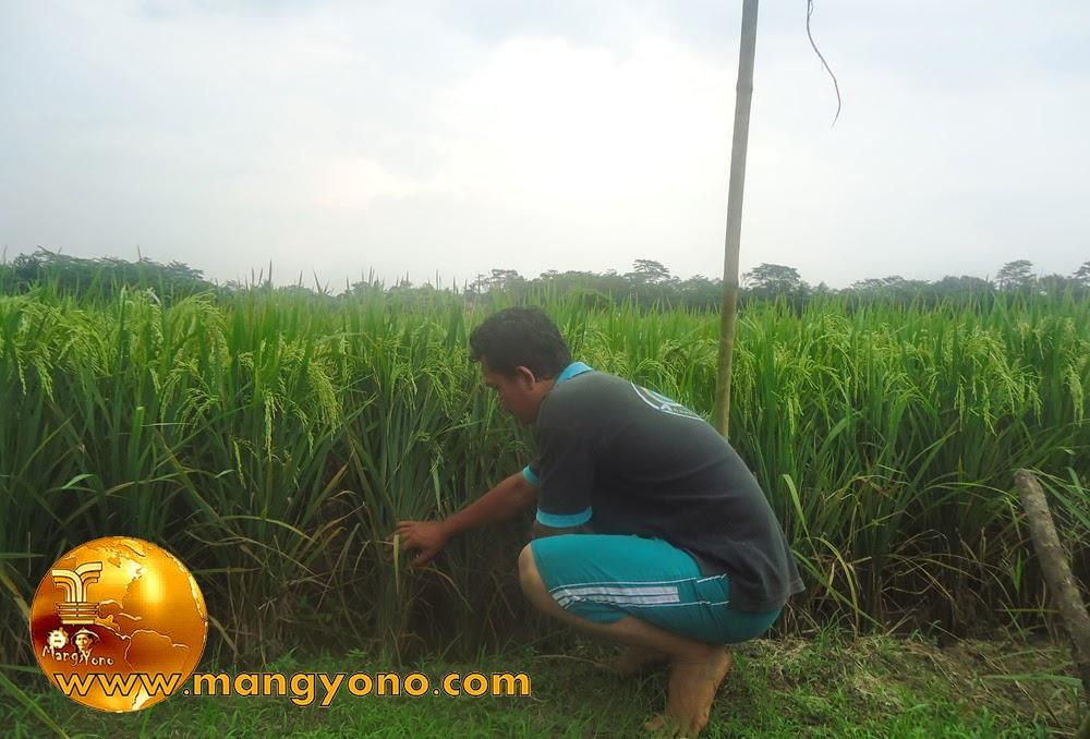 Cara Menangkap Belut. Pertama cari liangnya dulu, biasanya di dekat rumpun padi atau di pinggir pematang sawah.