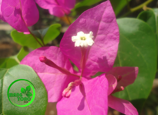 Bunga Bougenville / Bunga Kertas Sebagai Pembersih Udara Kotor