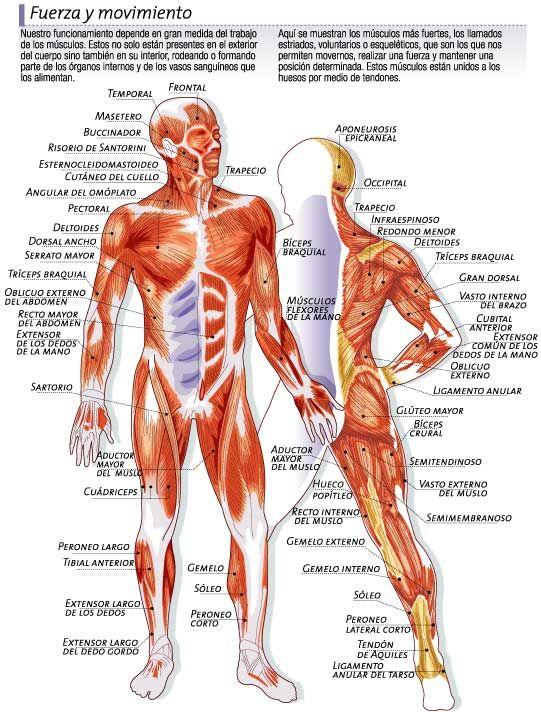 Sistemas y Aparatos: Sistema muscular
