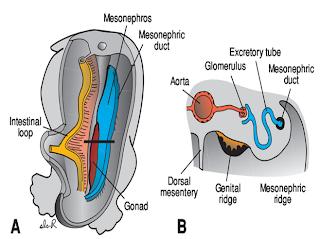 human    body    videos  Urinary System Embryology