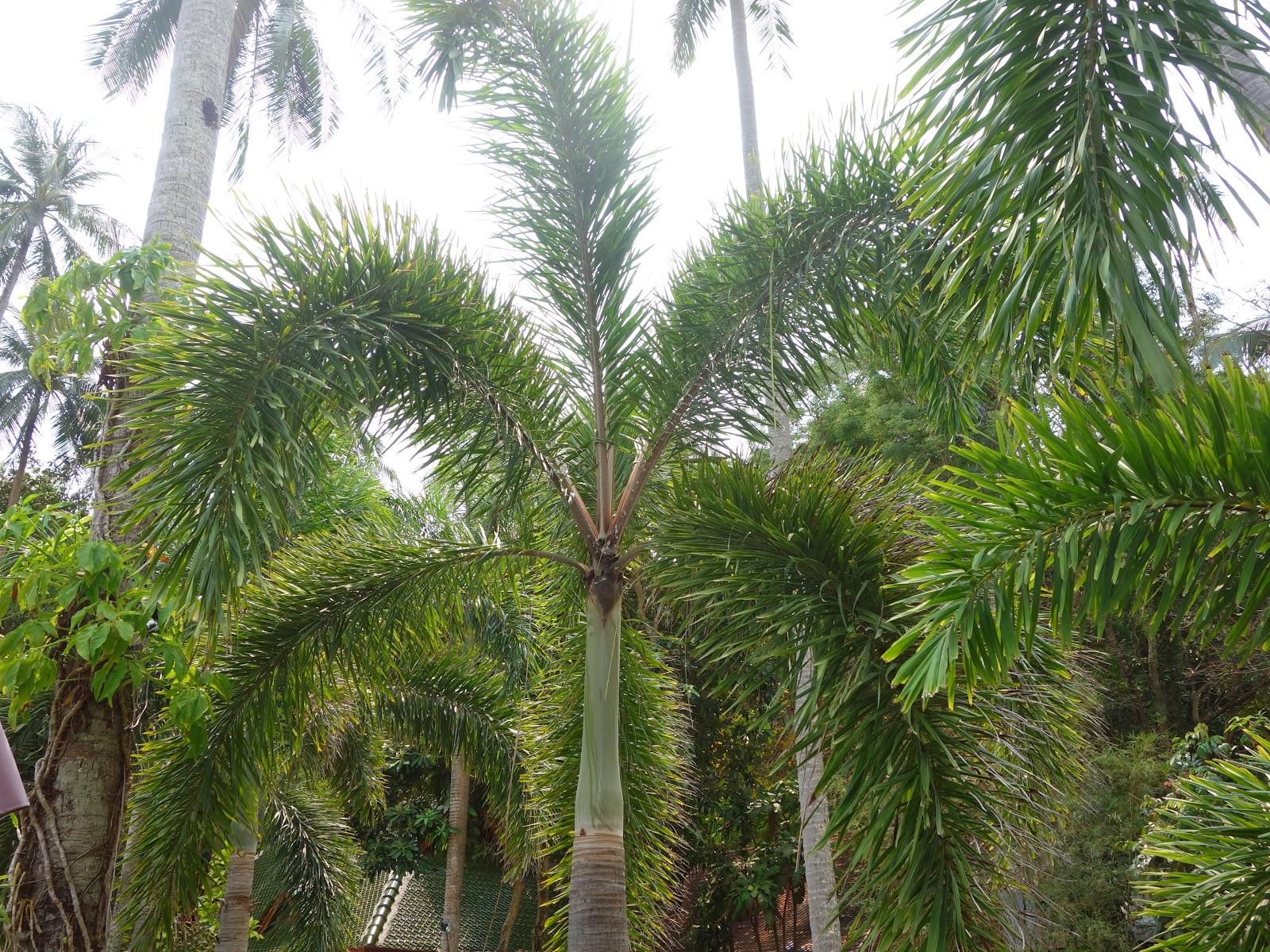 Evlin encore en asie du sud est en 2014 koh chang for Plante plumeau rouge
