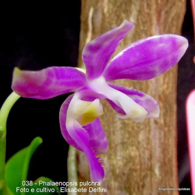 Phalaenopsis lueddemanniana var. pulchra,Phalaenopsis luedemmannia var purpurea ,Polychilos pulchra,
