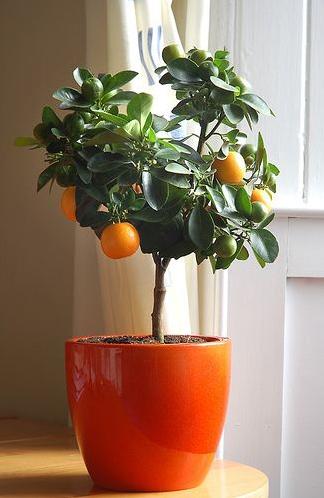 white gold indoor citrus trees. Black Bedroom Furniture Sets. Home Design Ideas