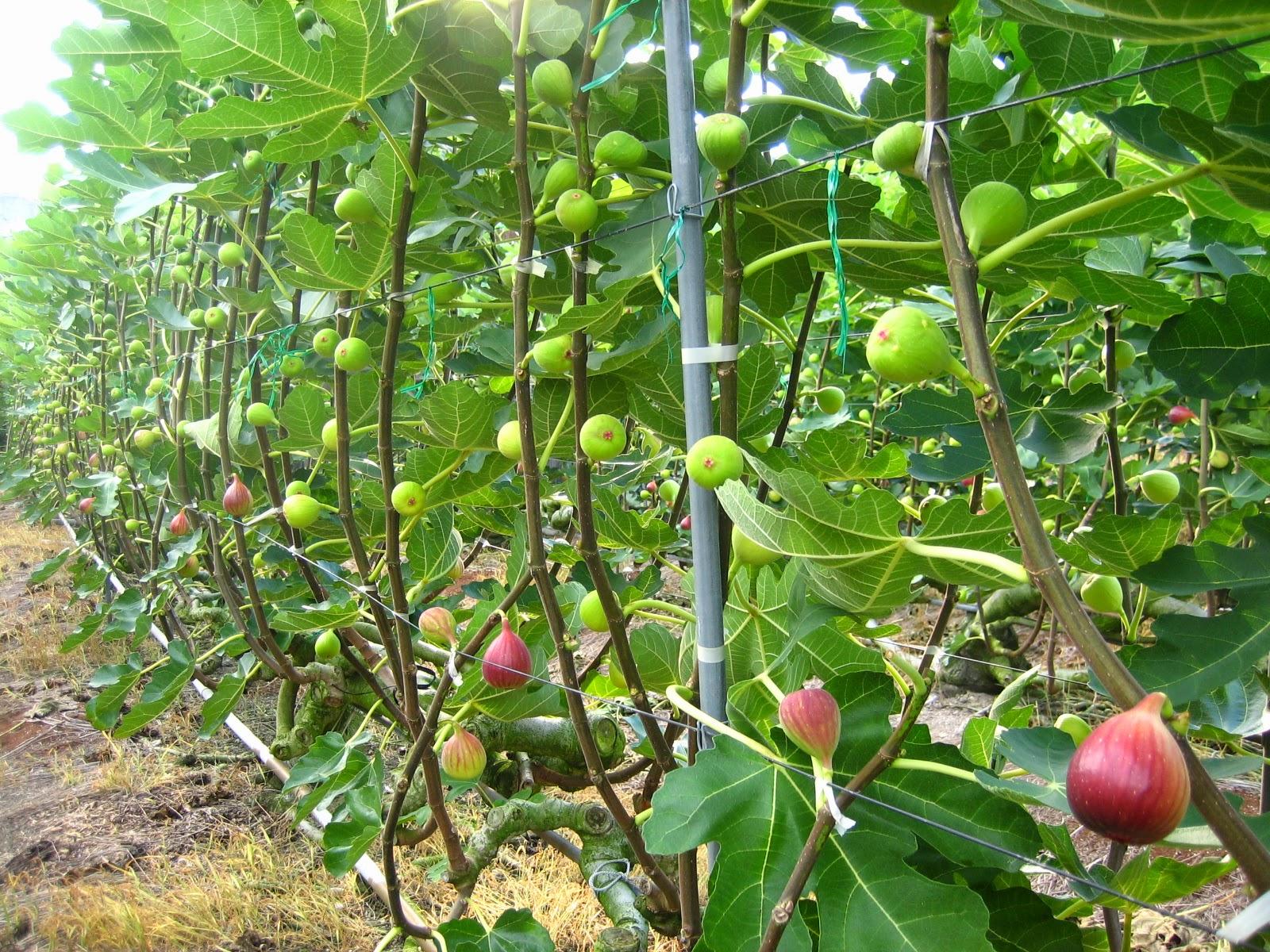 Japan Figs farmer
