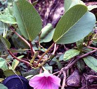 pohuehue, Ipomoea pes-caprae, beach morning glory